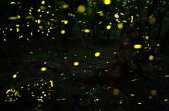 Много светляков в лете на fairy лесе Стоковые Изображения RF