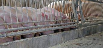 Много свиней в хлеве едят в кормушке Стоковое Изображение RF