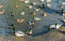 Много селезни и утки плавают совместно в пруде Стоковое Изображение