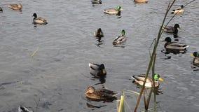 Много селезни и утки плавают совместно в пруде видеоматериал