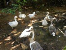 Много серых, коричневых и белых гусынь цвета на воде puddle Стоковая Фотография RF