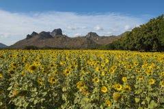 Много солнцецветов Стоковые Фото