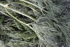 Много сырцовый зеленый укроп Стоковая Фотография RF