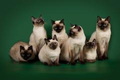 Много такие же коты представляют на зеленой предпосылке студии Стоковое Изображение RF