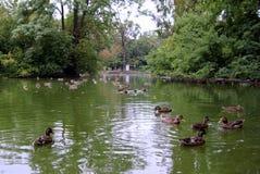 Много утки на озере в парке Стоковое Изображение