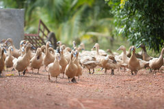 Много уток в ферме Стоковое Фото