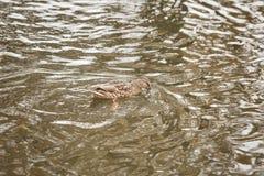Много уток плавая в озере или пруде Стоковые Изображения RF
