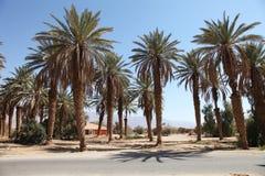 Много финиковые пальмы на фоне стоковое фото rf