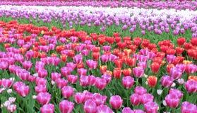 Много цветков тюльпана, горизонтальных Стоковая Фотография RF