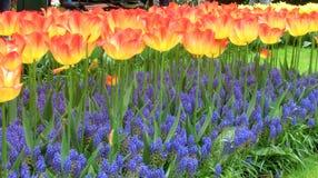 Много цветков тюльпана, горизонтальных Стоковые Изображения RF