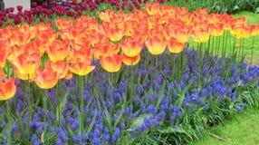 Много цветков тюльпана, горизонтальных Стоковые Изображения
