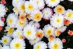 Много цветков хризантемы Стоковые Фото