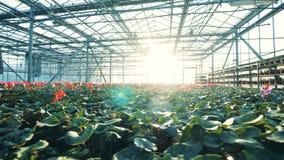 Много цветков cyclamen растут в одном большом парнике акции видеоматериалы