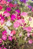 Много цветов петуньи святой petersburg России цветка кровати близкое вверх стоковые фотографии rf