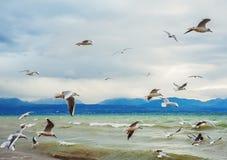 Много чайок летая над женевским озером на зимнем времени Стоковые Фотографии RF