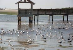 Много чайок на береге на деревянном мосте Стоковое Изображение RF