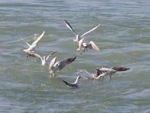 Много чайок, Чёрное море Стоковые Фотографии RF