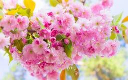 Много чувствительных розовых вишневых цветов Красивая ветвь плотно Che Стоковая Фотография