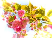 Много чувствительных розовых вишневых цветов Красивая ветвь плотно Che Стоковые Фото