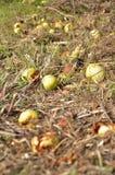 Много яблок которые падали от дерева Стоковые Фотографии RF