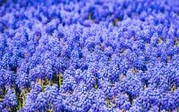 Много botryoides Muscari Muscari гиацинта весной садовничают Голубое поле цветков стоковые изображения