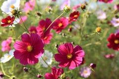 Много Calliopsis конца-вверх розовый Стоковое Изображение RF