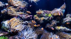 Много Clownfishes с ветреницами Стоковые Фотографии RF