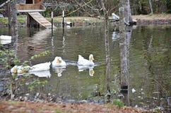 Много duck в заплывании пруда Стоковые Фото