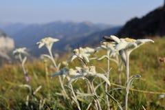 Много edelweiss - цветки на поле стоковые изображения rf