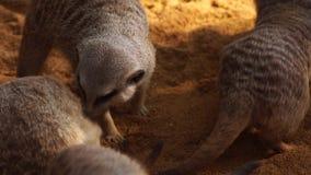 Много meerkat играя между ими для того чтобы сдержать и своженный с ума сток-видео