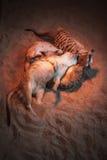 Много meerkats сыграны и лежат на песке Стоковые Фотографии RF