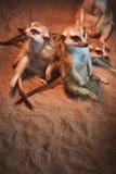Много meerkats сыграны и лежат на песке Стоковое Изображение RF