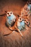 Много meerkats сыграны и лежат на песке Стоковое фото RF