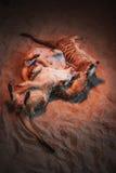 Много meerkats сыграны и лежат на песке Стоковые Изображения RF