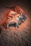 Много meerkats сыграны и лежат на песке Стоковая Фотография RF
