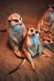 Много meerkats сыграны и лежат на песке Стоковое Фото