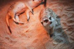 Много meerkats сыграны и лежат на песке Стоковые Фото