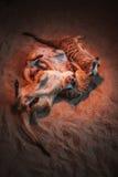 Много meerkats сыграны и лежат на песке Стоковое Изображение