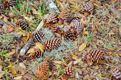 Много Pinecone Стоковые Фото