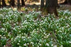 Много snowlake в лесе, весне Сад короля Â's заповедника, чехия Стоковая Фотография