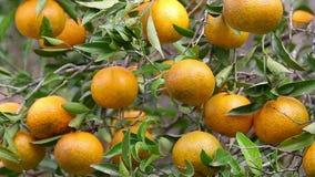 Много tangerines акции видеоматериалы