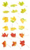 Множественной кленовые листы покрашенные осенью Стоковая Фотография RF