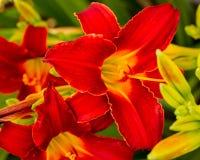 Множественные красные лилии зацветая в саде Стоковые Фотографии RF