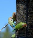 Множественные неразлучники на фидере птицы стоковое изображение