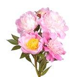 Множественные розовые и белые изолированные цветки пиона Стоковые Изображения