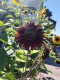 Множественные солнцецветы Стоковая Фотография