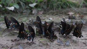 Множественные типы бабочек в сухой лужице грязи сток-видео