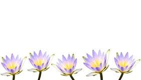 Множественные фиолетовые цветки лотоса или лилии воды предусматриванные капельками воды Стоковое Изображение