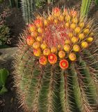 Множественные цветки на кактусе глобуса Стоковые Фото
