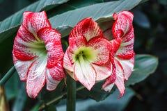 Множественный stripy розовый белый амарулис hippeastrum цветет с красными нашивками на лепестках в лилии Amaryl звезды предпосылк Стоковые Фото